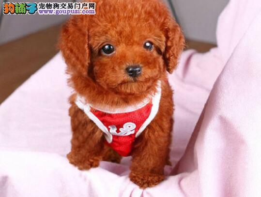 完美品相血统纯正庆阳泰迪犬出售优质服务终身售后