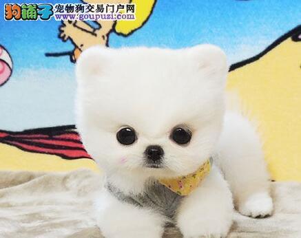 白银出售博美犬颜色齐全公母都有签署各项质保合同