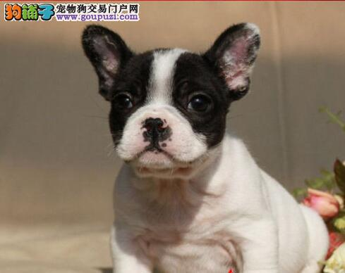 出售聪明伶俐法国斗牛犬品相极佳赛级品质血统保障