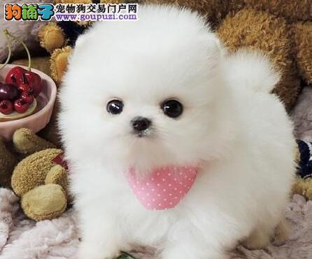 杭州养殖场低价出售超大毛量的博美犬 全国空运送货