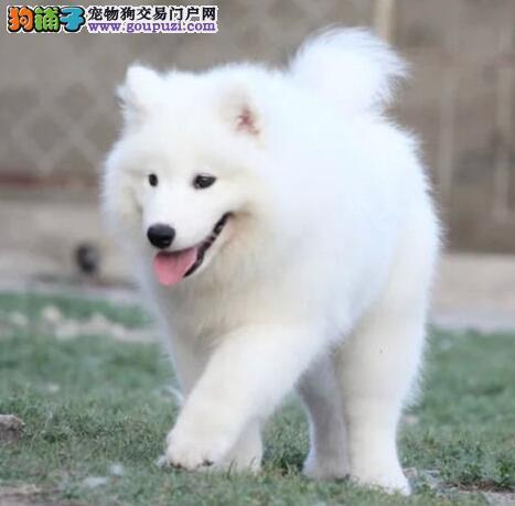 纯种赛级萨摩耶、品质极佳品相超好、购犬可签协议