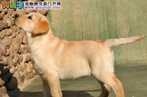 转让高品质好血统的温州拉布拉多犬 承诺售后三包服务