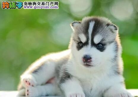 出售正规犬舍专业繁殖的纯种西安哈士奇 保证纯种健康