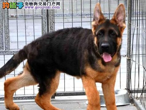 高大威猛英俊帅气的温州德国牧羊犬待售中 狗贩子勿扰
