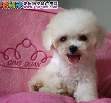 贵阳实体狗场出售深红色泰迪犬 保证品质和完美售后