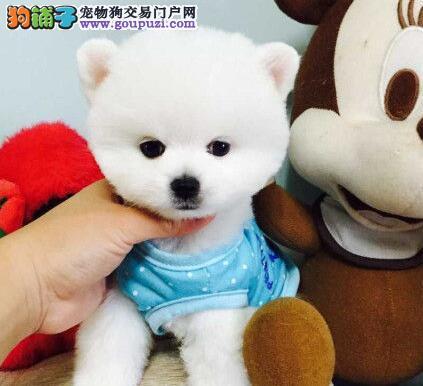 洛阳养殖基地出售毛茸茸的博美犬 可随时视频看狗