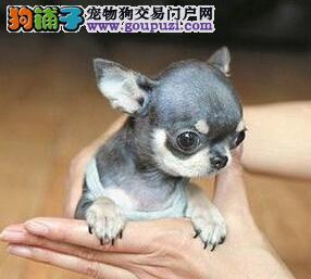 重庆本地出售高品质吉娃娃宝宝优质服务终身售后