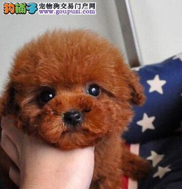 上海犬舍出售精品泰迪犬颜色多只可上门选购