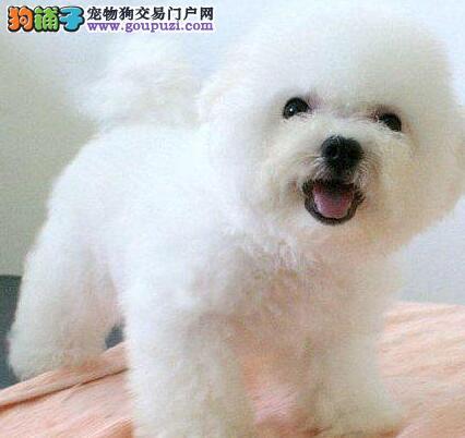 出售超可爱的济南比熊犬 喜欢的朋友请尽快与我联系