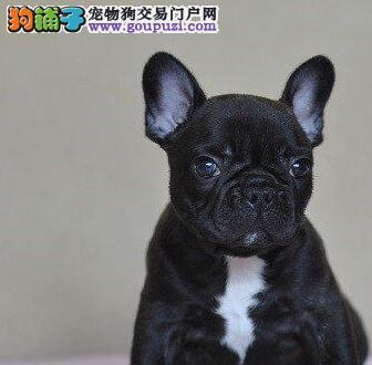 台州狗场转让名贵血统的斗牛犬公母都有