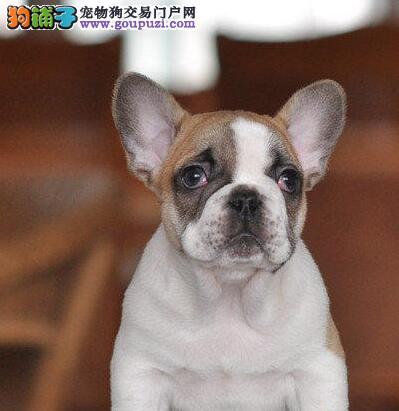 贵阳正规狗场犬舍直销法国斗牛犬幼犬均有三证保障