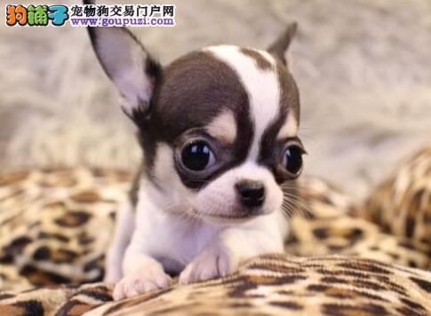 热销多只优秀的郑州纯种吉娃娃幼犬可以送货上门