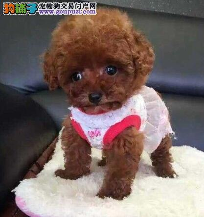 活泼可爱的石家庄泰迪犬找爸爸妈妈 品种全保健康