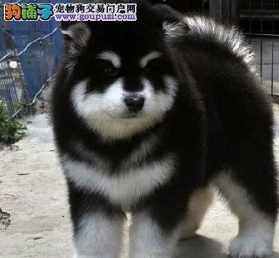 养殖基地促销顶级武汉阿拉斯加雪橇犬带芯片
