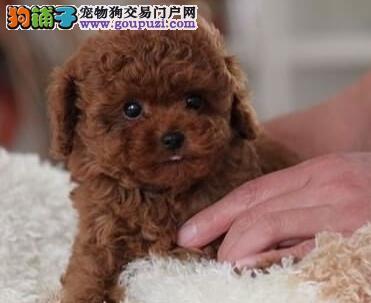 韩系血统杭州贵宾犬特价转让 可办理血统证书