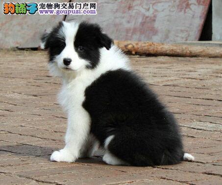 顶级优秀的纯种重庆边境牧羊犬热销中真实照片包纯