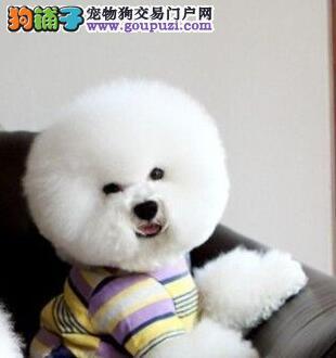 出售纯种健康的广东比熊幼犬可签订活体销售协议