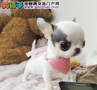 沈阳实体店促销健康纯种吉娃娃大眼睛苹果头