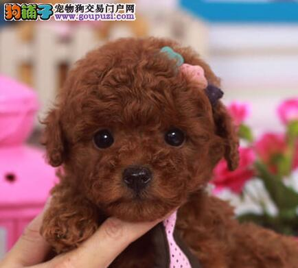 天津最大犬舍出售多种颜色贵宾犬天津市内免费送货