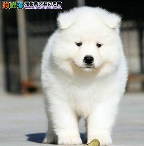 沈阳基地直销健康萨摩耶完美品相可赠送狗狗用品