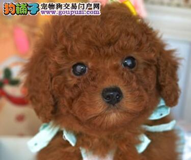 大型犬舍出售纯种血统沈阳贵宾犬购买可赠送狗粮