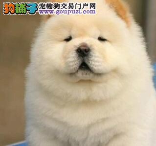养殖场出售品相完美的沈阳松狮犬纯美系血统