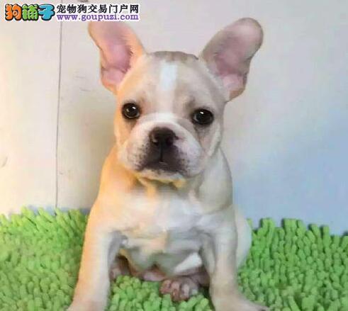 法国斗牛犬北京CKU认证犬舍自繁自销爱狗人士优先狗贩勿扰