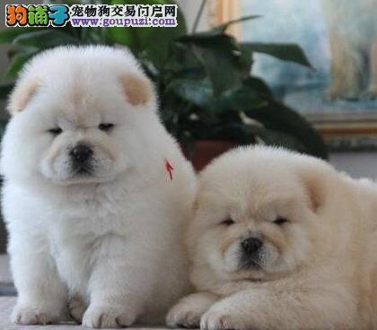 狗场直销精品南京松狮犬包养活质量有保证