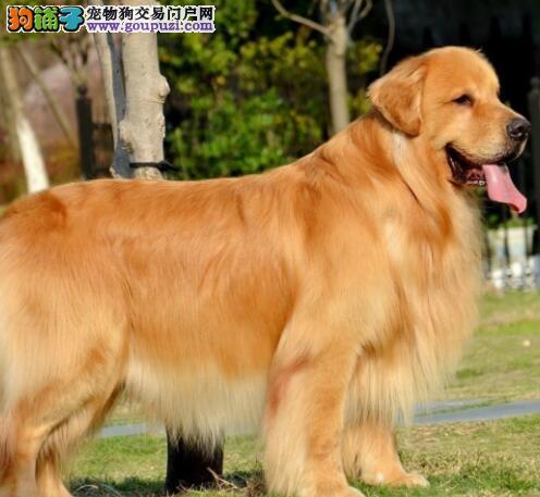 养殖场多只血统纯正金毛犬转让南京地区可上门选购