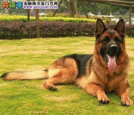 广东出售德国牧羊犬颜色齐全公母都有品质一流三包终身协议