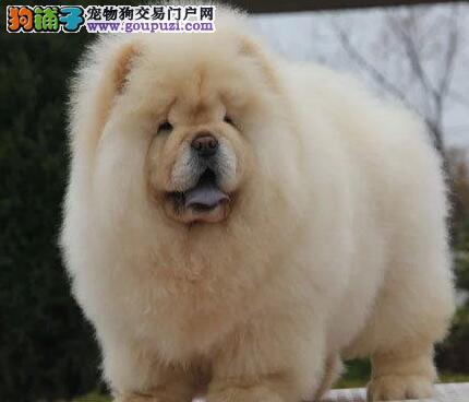 出售赛级松狮,国际血统品质保障,微信咨询看狗