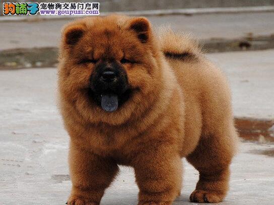 专业直销精品纯种松狮幼犬—特价出售—可上门挑选