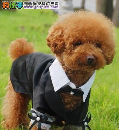 天津热卖贵宾犬多只挑选视频看狗多种血统供选购