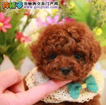 烟台犬舍专业繁殖精品韩系贵宾犬 到狗场眼见为实