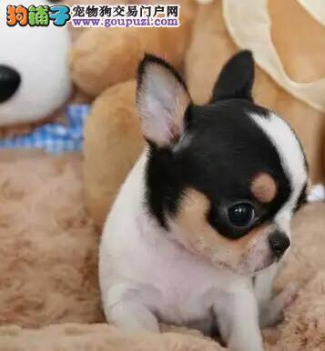 出售纯种健康的吉娃娃幼犬优质服务终身售后