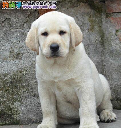 CKU认证赛级品质拉布拉多幼犬唐山火爆出售 品质三包