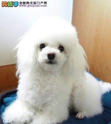 南昌犬舍直销多种血系的巨型贵宾犬 速来选购幼犬