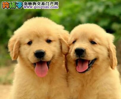 养殖场直销纯种金毛犬深圳地区可上门购买