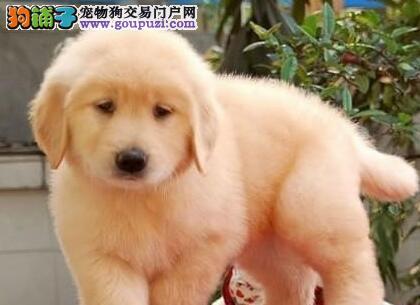 专业犬舍促销好品质的九江金毛犬签售后协议