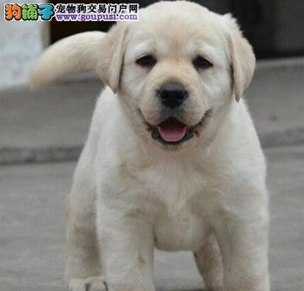 养殖基地热销好品质绍兴拉布拉多犬品相好签协议
