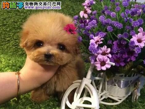出售武汉家养纯种泰迪犬幼犬繁殖出售保健康送用品