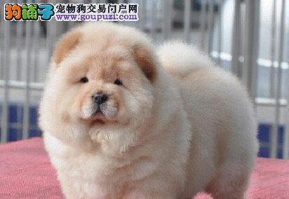 永州出售松狮幼犬品质好有保障可刷卡可视频