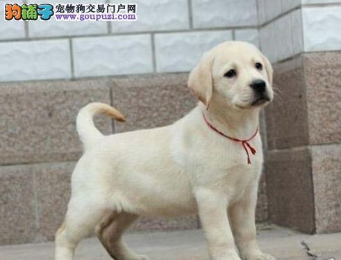 帅气纯正血统的绍兴拉布拉多犬低价出售 请您放心选购
