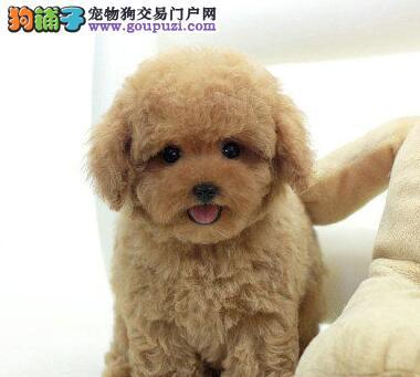 顶级优秀韩系血统厦门泰迪犬特价出售中 已做好疫苗