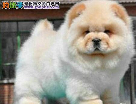 天津实体店低价促销赛级松狮幼犬价格美丽非诚勿扰