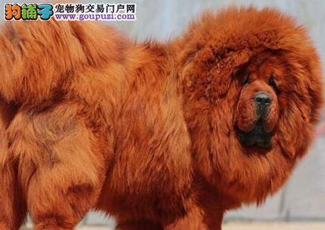 昆明专业繁殖基地出售大狮子头藏獒幼崽 价格非常合理