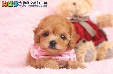 贵阳知名犬舍出售多种颜色的泰迪犬 保证品质售后