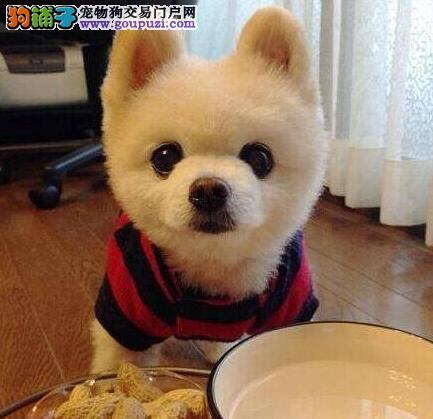 超大毛量超小体型的柳州博美犬热卖中 请您放心选购