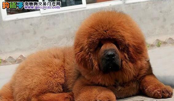 出售铁头包金的贵阳藏獒幼崽 希望大家上门选购爱犬