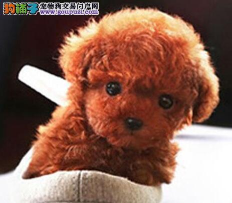 上海正规犬舍热销极品韩系血统泰迪犬 公母全有保健康